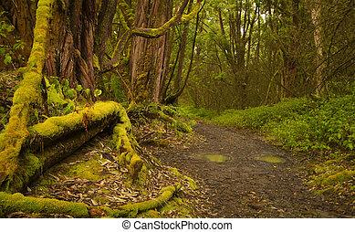 ścieżka, rainforest
