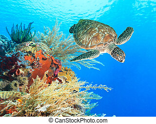 żółw, koral