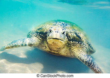 żółw, podwodny, plaża, hikkaduwa, morze