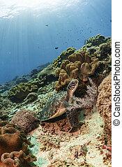żółw, podwodny, rafa, nurkowanie, koral, pływacki, zielony, scuba