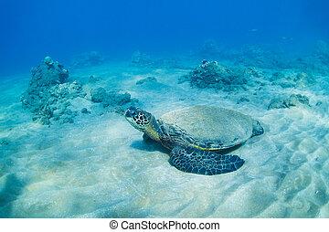 żółw, podwodny, zielony, morze