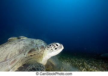 żółw, zielony