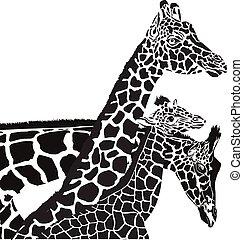 żyrafa, głowy