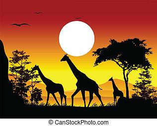 żyrafa, sylwetka, piękno, rodzina