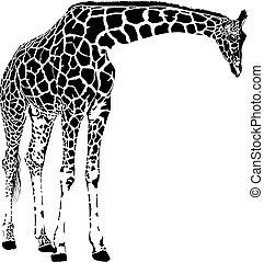 żyrafa, wektor