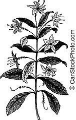 agathosma, barosma, rocznik wina, liście, crenulata, crenulata, roślina, albo, engraving.