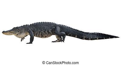 aligator, amerykanka, wielki
