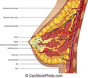 anatomia, breast., wektor