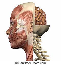 anatomia, ciało, samica
