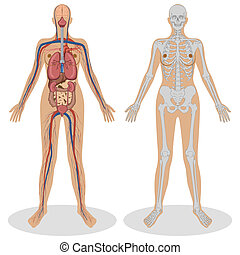 anatomia, kobieta, ludzki