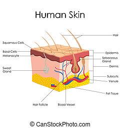 anatomia, ludzka skóra