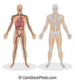 anatomia, ludzki, człowiek