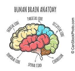 anatomia, mózg, rys, ludzki