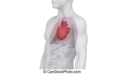 anatomia, samiec, serce, skandować