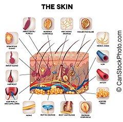 anatomia, skóra
