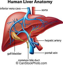 anatomia, wątroba, ludzki