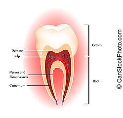 anatomia, zęby
