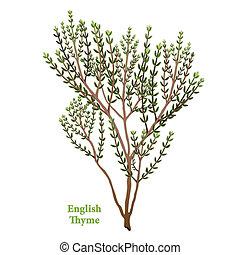 angielski, ziele, tymianek