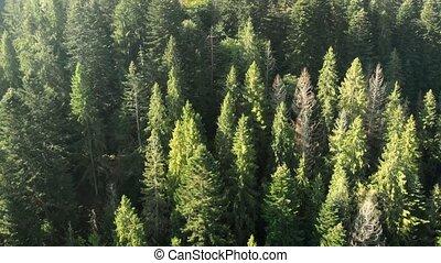 antena, góry, wysoki, las, świerk, drzewa, ukrainiec, perspektywa