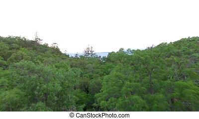 antenowy strzelony, las, drzewa