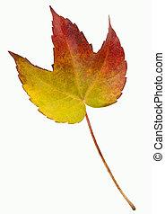 autumn liść, -, odizolowany