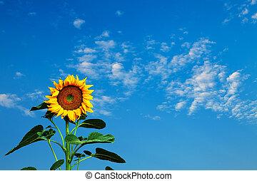 błękitne niebo, słonecznik, przeciw