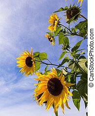 błękitne niebo, słoneczniki, przeciw