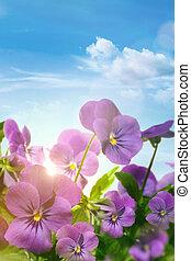 błękitny, wiosna, niebo, przeciw, fioletowe kwiecie