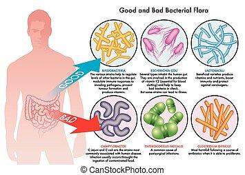 bakteryjny, flora, jelitowy