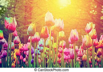 barwny, słońce, park, kwiaty, tulipany, rocznik wina, shining.