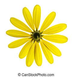biały kwiat, odizolowany, żółty, stokrotka
