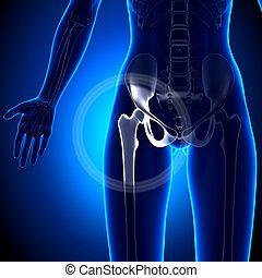 biodro, -, anatomia, połączenie, samica, kość