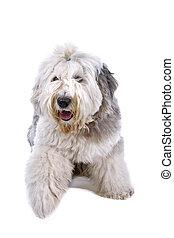 (bobtail), stary, sheepdog, angielski