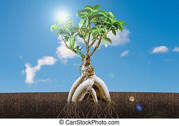 bonsai, błękitny, drzewo, niebo, wzrost, do podtrzymania, concept: