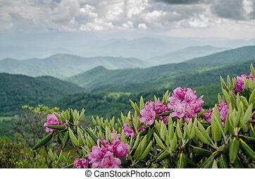 catawba, góry, za, rododendron