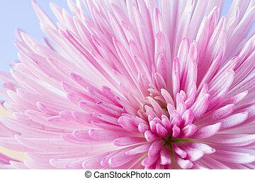 chryzantema, wizerunek, kwiat, do góry szczelnie