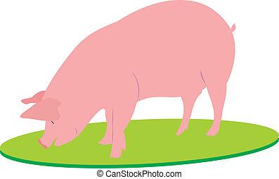 cielna, świnia