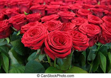 cielna, grono, czerwone róże