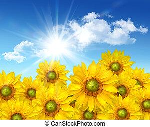 cielna, lato, słoneczniki, lazur, przeciw
