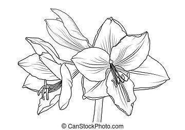 closeup, makro, lilly, prospekt, amarylis, hippeastrum