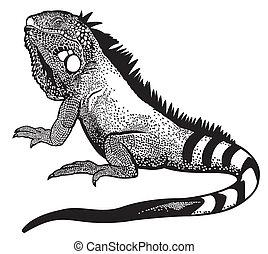 czarnoskóry, iguana, zieleń biała
