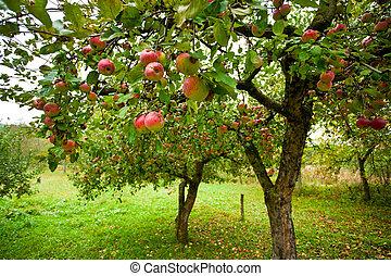 czerwone jabłka, drzewa, jabłko