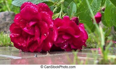 czerwony, przenosić, wiatr, dziki, ogród, róże