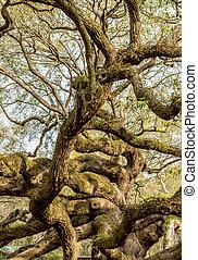 dąb, żywy, gałęzie, wicie się, drzewo