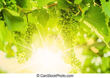 defocus, świeży, vine., zielone winogrona