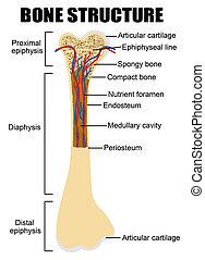 diagram, anatomia, ludzka kość