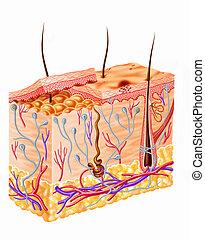 diagram, sekcja, ludzka skóra
