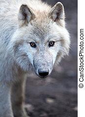 do góry, (canis, lupus), samiec, wilk, prospekt, zamknięcie