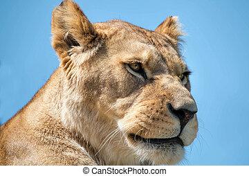 do góry., zamknięcie, lew, samica