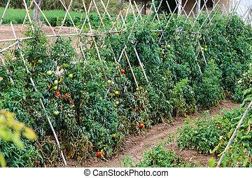 dojrzewanie, otwarty, field., pomidory